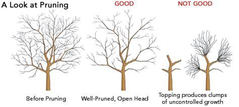 general guidelines  tree pruning forestrypedia