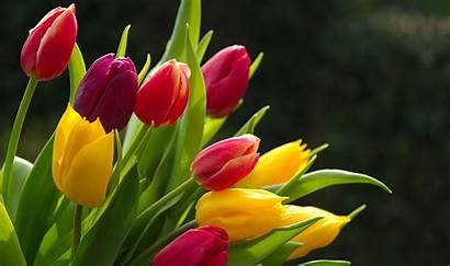 Flower Tulips Desktop Colorful Wallpapers Backgrounds Awesome