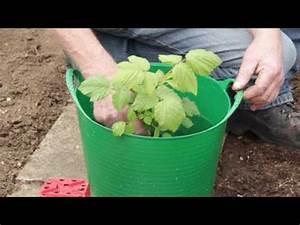 Kirschlorbeer Selber Ziehen : brombeeren vermehren doovi ~ Orissabook.com Haus und Dekorationen