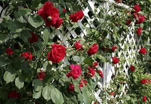 Was Passt Zu Rosen : rosenranken welche art passt am besten zu mir und meinem ~ Lizthompson.info Haus und Dekorationen