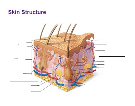 Skin Cell Diagram Label by Skin Structure Anatomy And Physiology