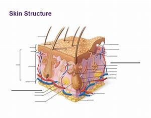 Skin Structure  Anatomy And Physiology