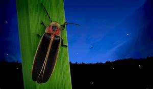 Understanding The Firefly U0026 39 S Glow