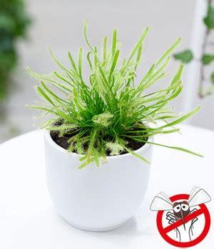 sonnentau pflanze pflege fleischfressende pflanzen pflege tipps f 252 r sie