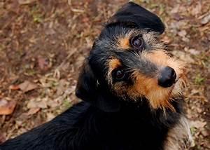 Biko - Dachshund | Humane Society of Dallas County