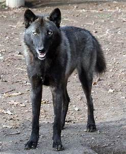 Black Wolf Hybrid Puppies