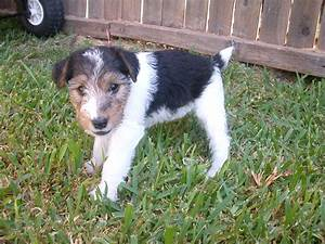 Purebred Wire Fox Terrier puppies for sale. Find a ...