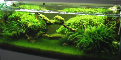 Plants For Aquascaping by Top 5 Best Aquarium Plants For Aquascaping Aquatic Mag
