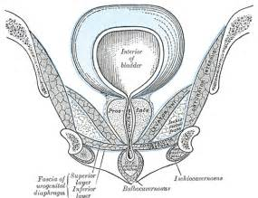 superficial perineal pouch wikipedia