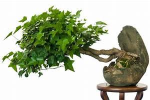 Efeu Als Zimmerpflanze : efeu als bonsai erziehen und pflegen ~ Indierocktalk.com Haus und Dekorationen