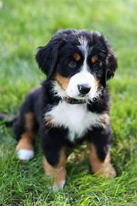 loyal bernese mountain dogs
