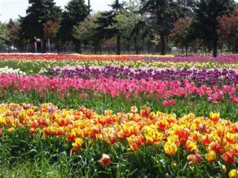 Veldheer Tulip Garden by Windmill Picture Of Veldheer Tulip Garden