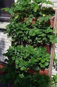 die besten 17 ideen zu erdbeeren pflanzen auf pinterest With katzennetz balkon mit mr reisen defne garden