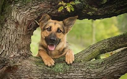 Shepherd German Wallpapers Boo Desktop Peek Dog