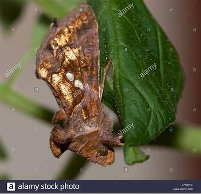 Chalcites Plusia Nocturna Mariposa Chrysodeixis Alamy
