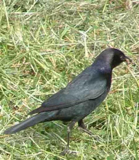 the brewer s blackbird