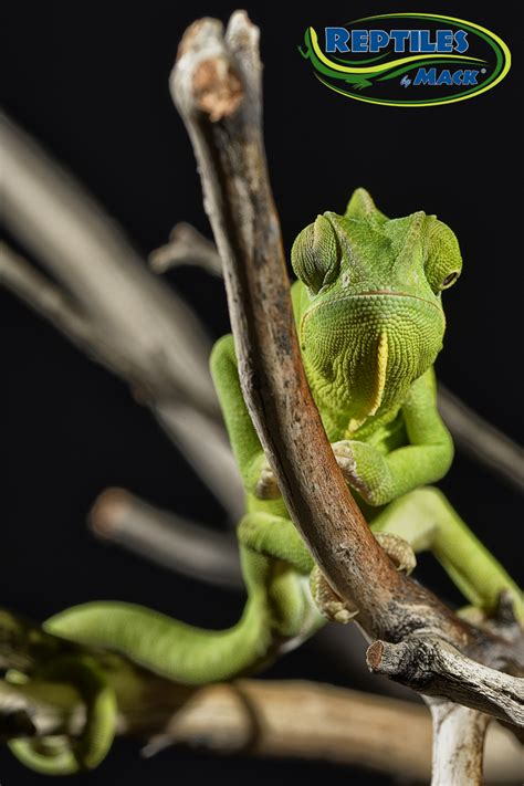 chameleon care veiled chameleon care sheet reptiles by mack