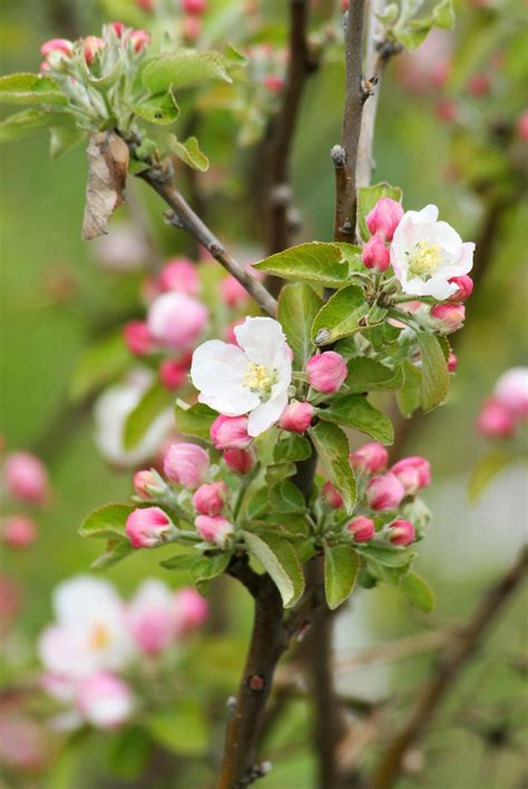Free Images : nature branch blossom fruit berry leaf