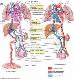 Fetal Circulation Vs  Normal Circulation