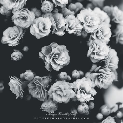 Image Rose Noir Et Blanc  Galerie Tatouage