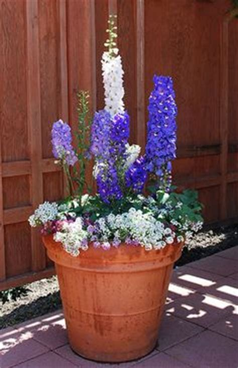 delphinium care in pots 7 saksı d 252 zenleme pot arrangament on window boxes petunias and container