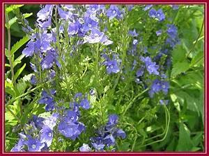 Blau Blühender Bodendecker : unser garten mai 2008 ehrenpreis ~ Frokenaadalensverden.com Haus und Dekorationen