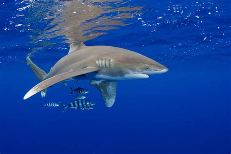 sharks cites vicious vulnerable protection need nrdc than ocean