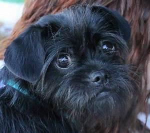 Dog Breed Exercise Chart Affenpinscher Breed Information Pictures And Puppies