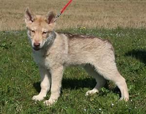 Cuccioli lupo di saarloos, il cane lupo di