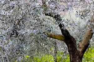 Olivenbaum Im Wohnzimmer überwintern : olivenbaum berwintern standort pflege tipps plantura ~ Markanthonyermac.com Haus und Dekorationen