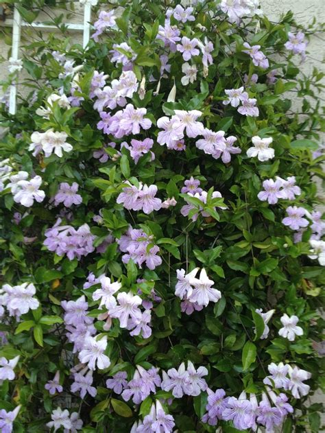 flowering climbing vines top 28 climbing vines with purple flowers clematis barbara dibley plant flower stock