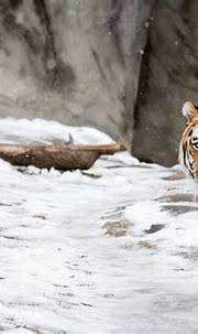 8K Tiger UHD Wallpapers - Top Free 8K Tiger UHD ...