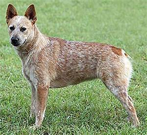 Australian Stumpy Tail Cattle Dog - K9 Research Lab
