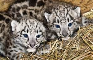 Cute Baby Snow Leopard