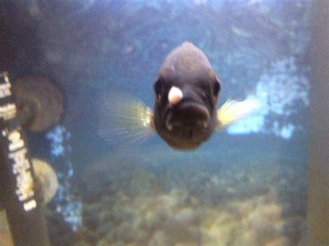 acei cichlid growth  lip  aquarium club
