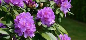 Wann Blüht Der Rhododendron : rhododendron schneiden so gelingt der richtige schnitt ~ Eleganceandgraceweddings.com Haus und Dekorationen