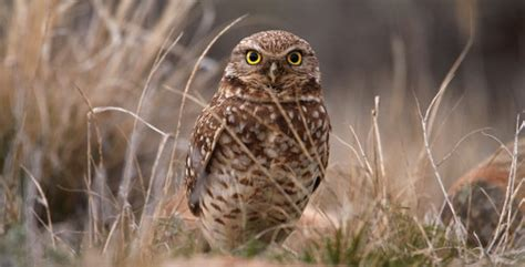 giving the burrowing owl a helping hand sun peaks