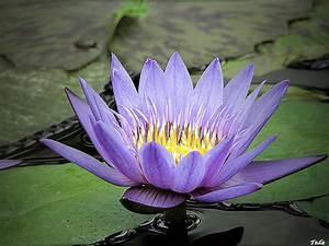 Le Lotus Bleu Levallois : le lotus bleu plant nature photos tede photoblog ~ Gottalentnigeria.com Avis de Voitures