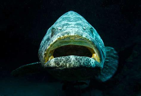 grouper goliath specialty tag jupiter dive diver center