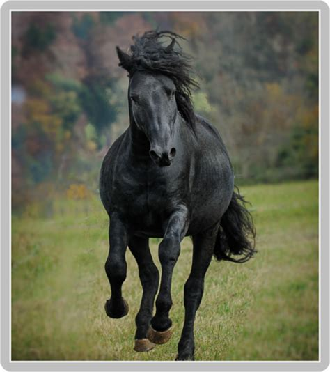 curly horse zuchthengst