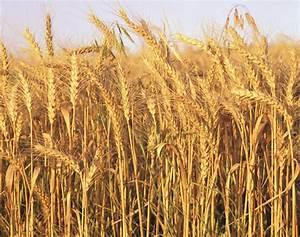 Zim winter wheat production down 29% - The Zimbabwe ...