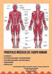 Principales M U00dasculos Del Cuerpo Humano