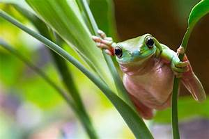 Australia launches its first national frog count Better