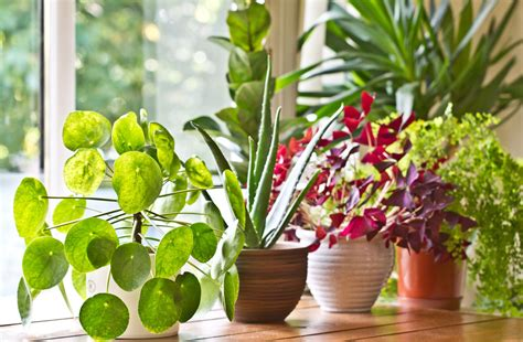 Best Indoor Window Plants by 10 Indoor Plants Which Are Considered As The Best Home