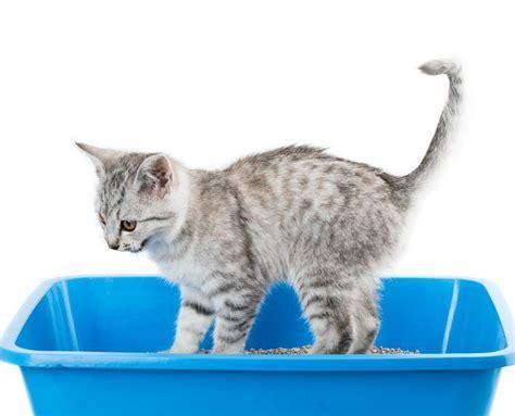 Cat Feline Infectious Peritonitis