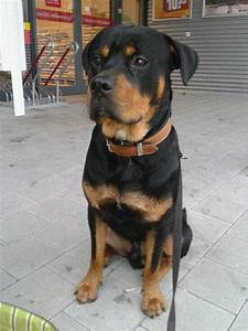 rottweiler lab mix puppy Book Covers