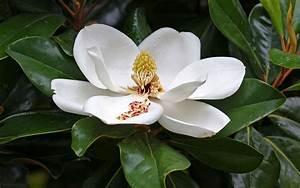 Fleur De Magnolia : d finition magnolia grandes fleurs magnolia ~ Melissatoandfro.com Idées de Décoration