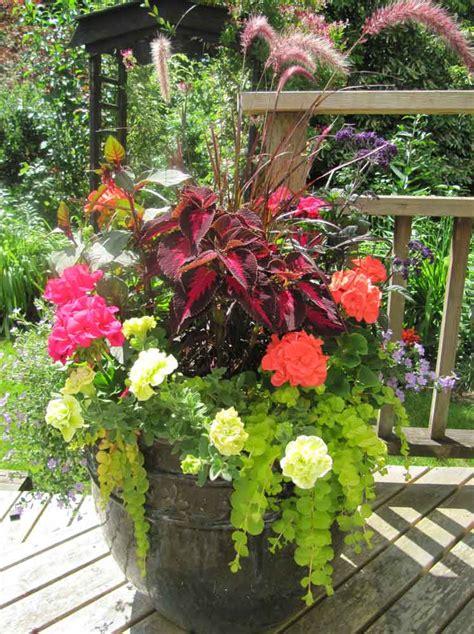 care of fuchsias in pots the winning pot features purple grass gartenmeister fuchsia coleus two varieties of
