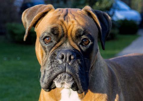 Boxer Dog Face German Or Deutscher Cute Fawn Golden Photo ...