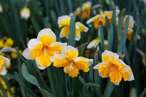 jonquil flower world flowers